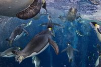 NATURE STORIES 1	Paul Nicklen, Canada, National Geographic magazine Emperor Penguins, Ross Sea